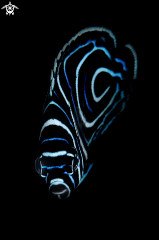 A The emperor angelfish
