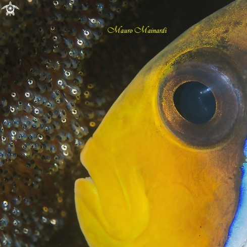 A Clownfish and eggs