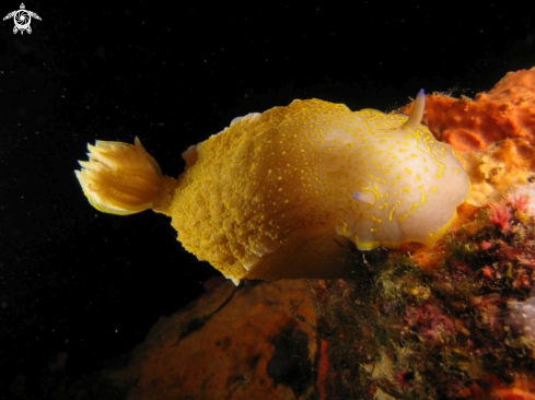 A Hypselodoris picta