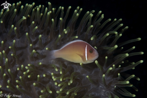 A anemone and anemone fish