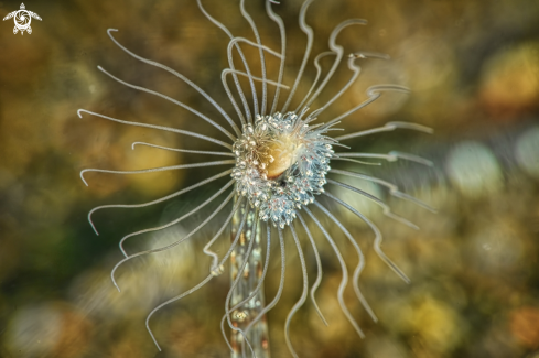 The Amphipod in Stalked Hydroid, Ralpharia sp.