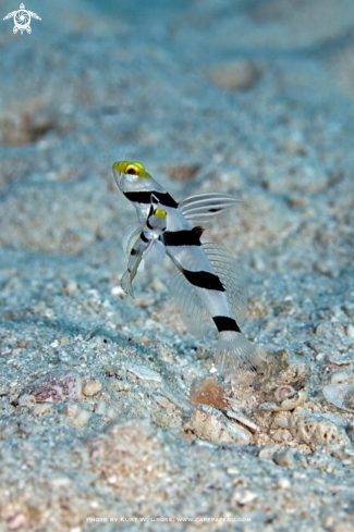 A Stonogobiops xanthorhinica | Yellow-snout Shrimp Goby