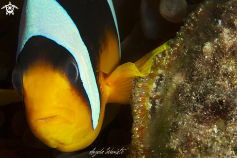 A Clown fish and eggs