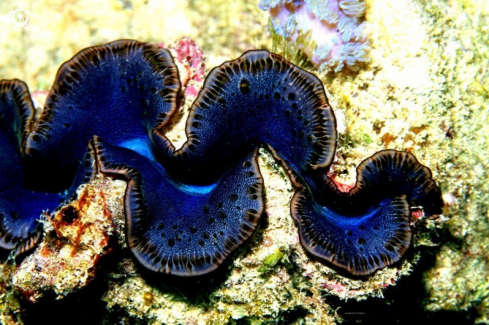 A Mauritius Giant Clam ,endemic species to the Republic of Mauritius