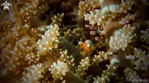 A squat anemones shrimp