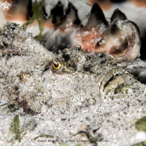 A Inimicus didactylus | Devil Scorpion Fish