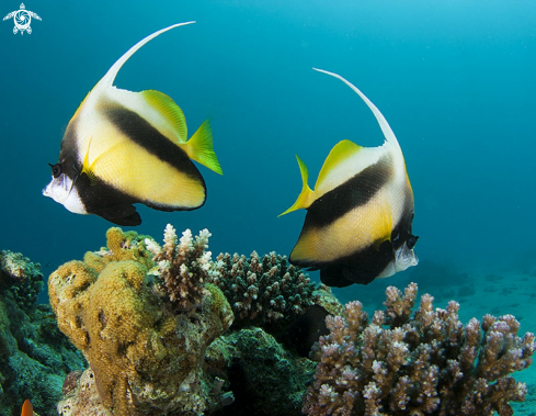 A False moorish idol