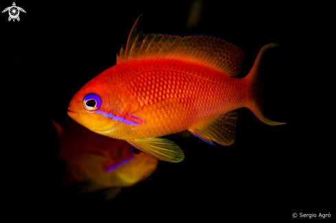 A Anthias squamipinnis | Anthias