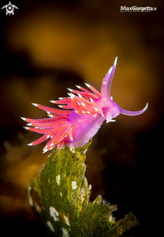 A nudibranch | flabellina