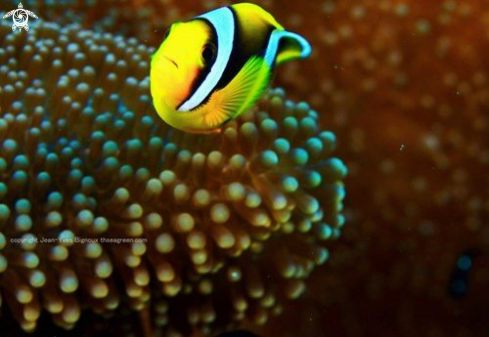 A Clownfish Anemone fish
