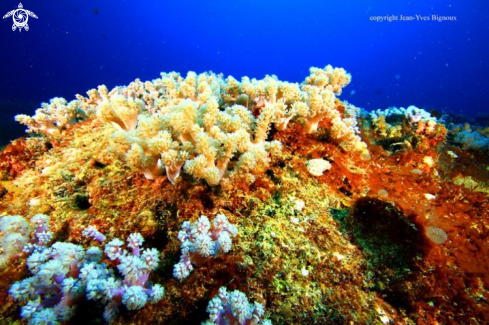 A Soft coral formations at 8 metres,Mauritius