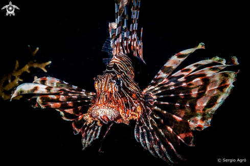 A Pterois miles | Lion fish