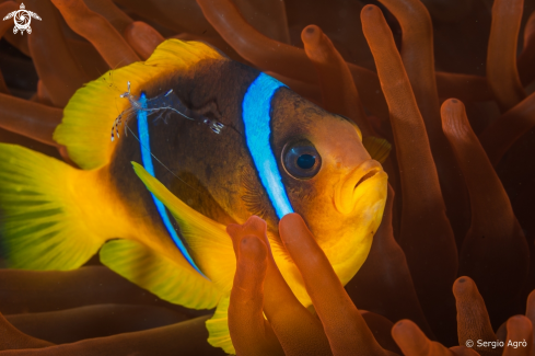 A Amphiprion bicinctus | Clown fish