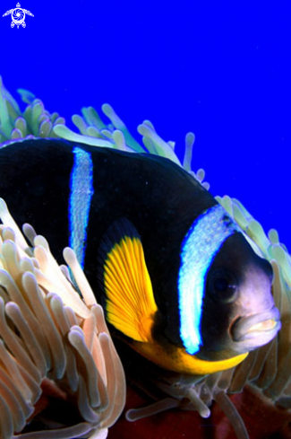 A Amphiprioninae