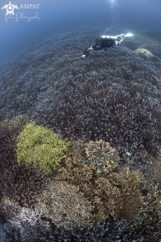 A Staghorn Coral