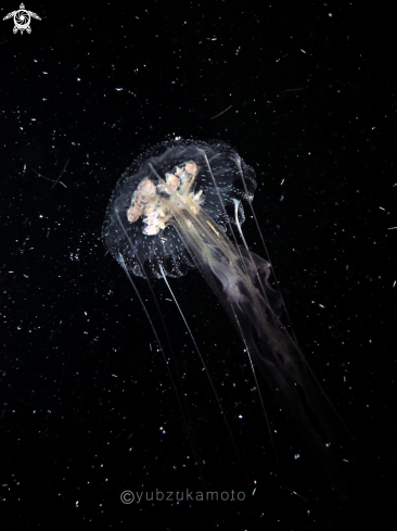 A Jelly Fish