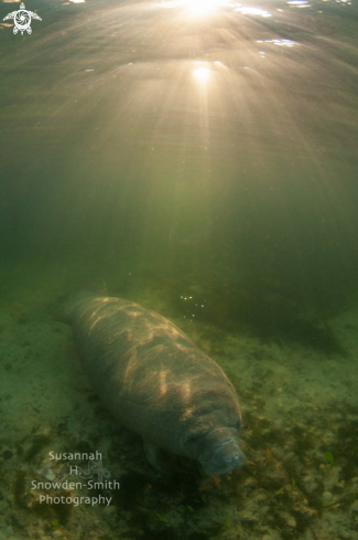 A Trichechidae Trichechus | Manatee
