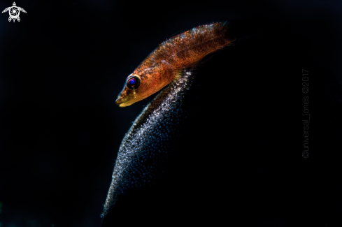 A ? | Black Tunicate Goby