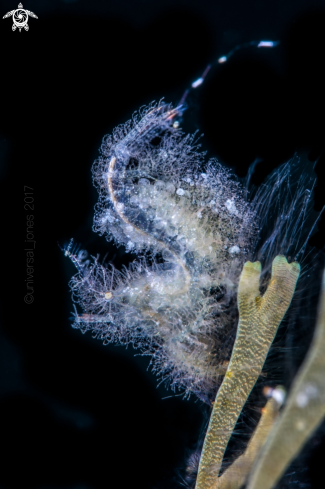 A  Phycocaris simulans | Hairy Shrimp