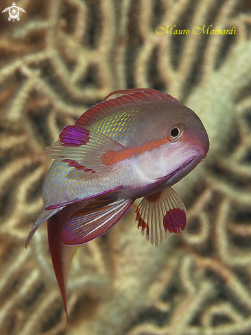 A Anthias male