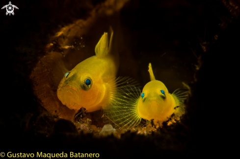 A Yellow Pygmy gobys
