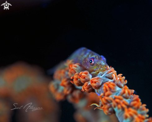 A goby on whip coral