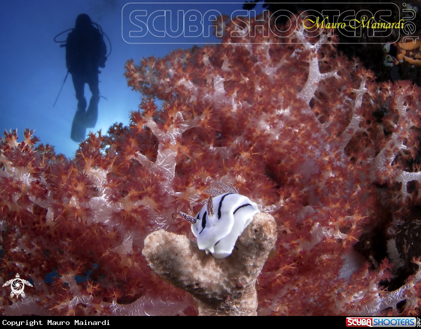 A Nudi, diver and softcoral