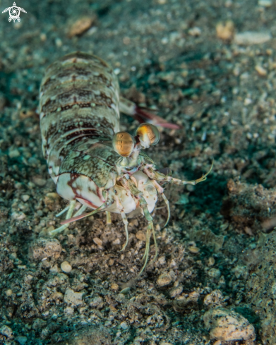 A Tiger mantis shrimp