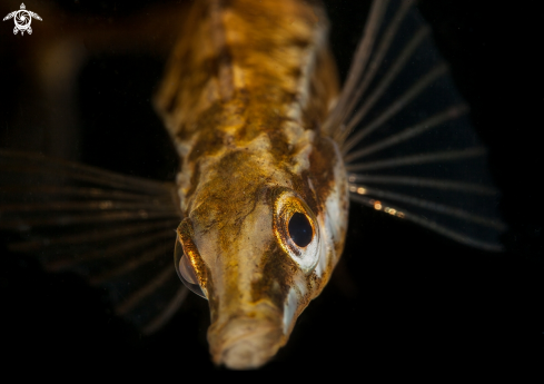 A Fifteen spined stickleback