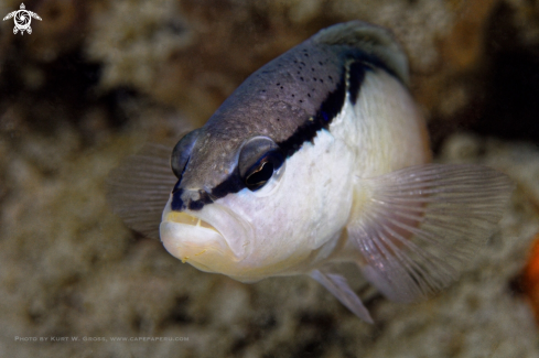 A Black-stripe Dottyback