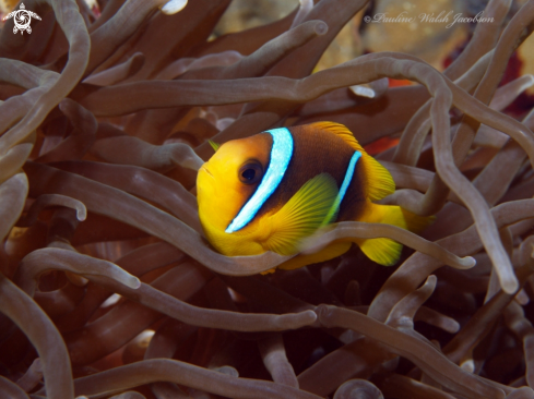 A Red Sea Clownfish