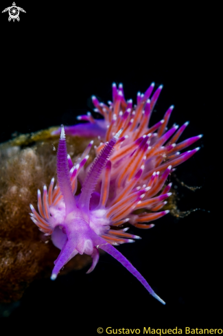 A Flabellina affinis | Flabellina