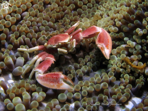 A Porcelain crab