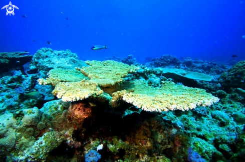 A Plate Coral