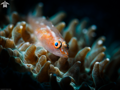 A Goby | Goby