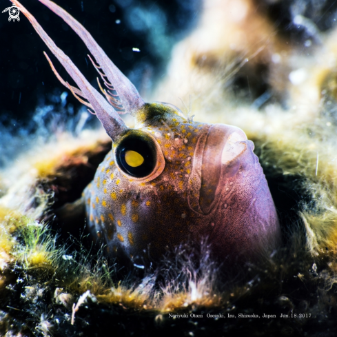 A Parablennius yatabei (Jordan and Snyder, 1900) | Yatabe blenny