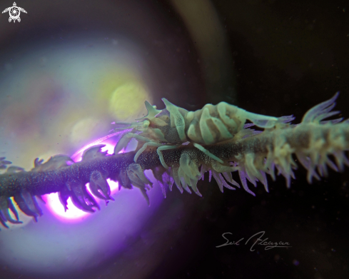 A whip coral shrimp