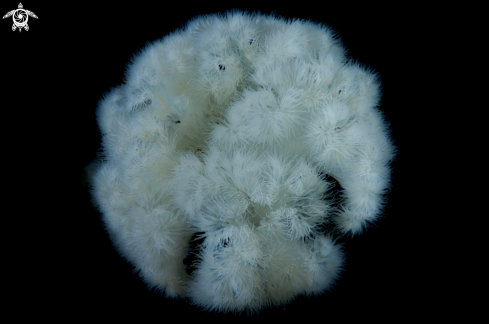 A Giant Plumose Anemone