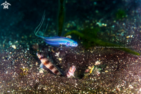 A Ptereleotris hanae (Jordan and Snyder, 1901) and Amblyeleotris japonica Takagi, 1957  | Blue Hana goby and Shrimp Goby