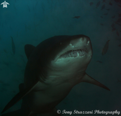A Carcharias taurus | Grey Nurse Shark