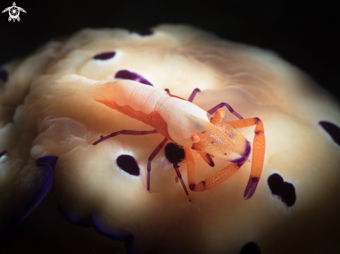 A Emperor Shrimp and Nudi