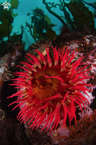 A Fish-Eating Anemone