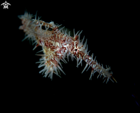 A Ornate Ghost Pipefish