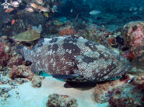 A  Giant Grouper