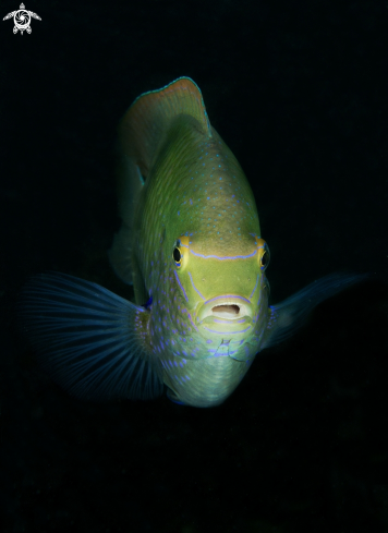 A White Damselfish