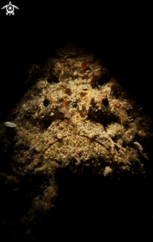 A Reef Stonefish
