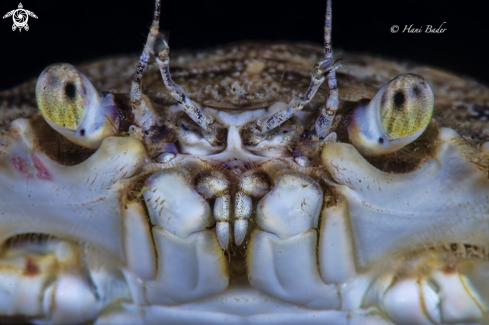 A Blue Swimmer Crab