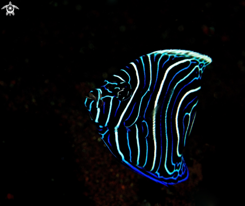 The Juvenile Emperor Angelfish