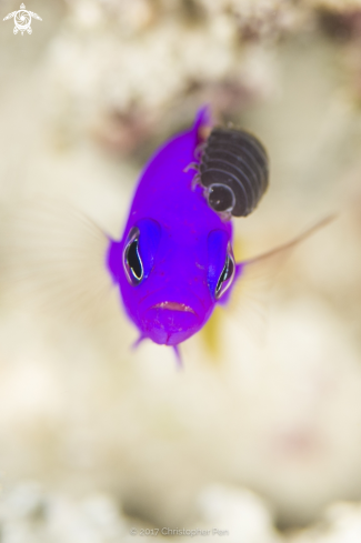 A Royal Dottyback and a Parasitic Isopod