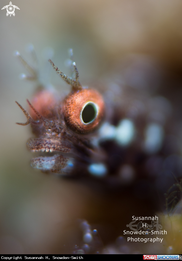 A Roughhead blenny